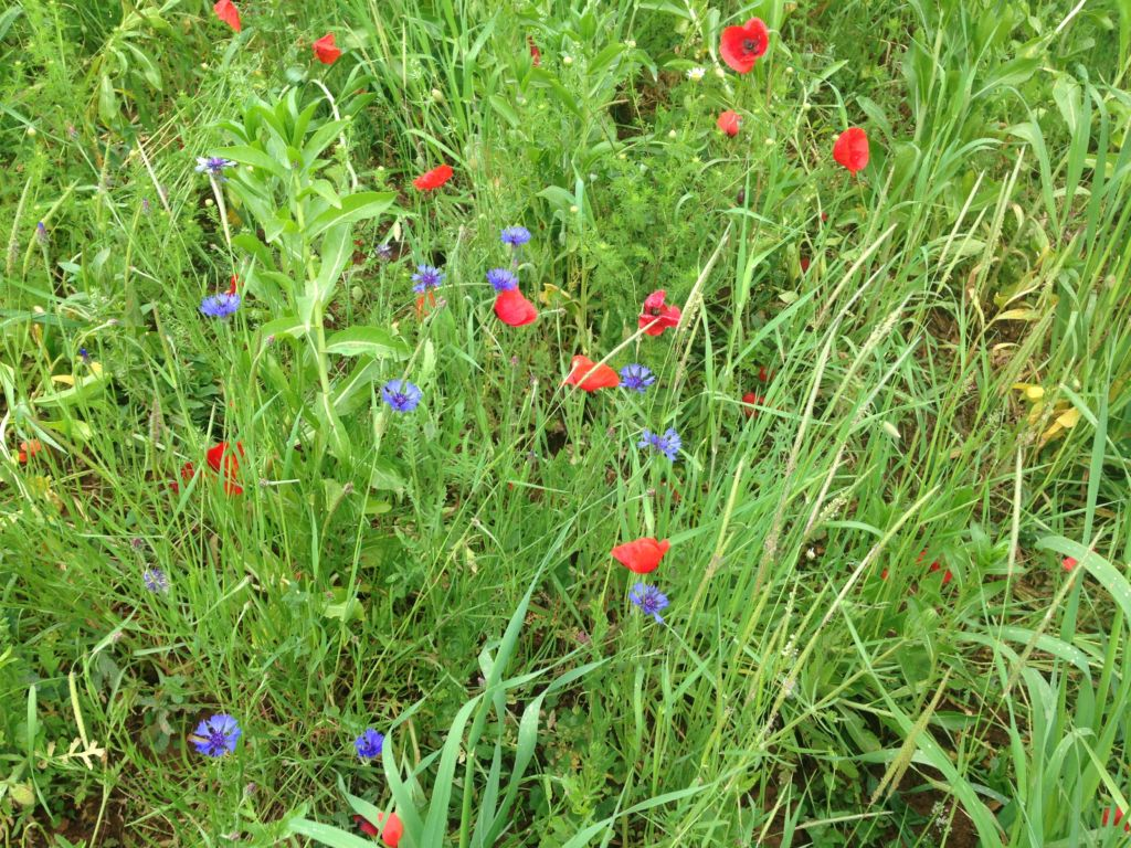 Green grass and wildflowers