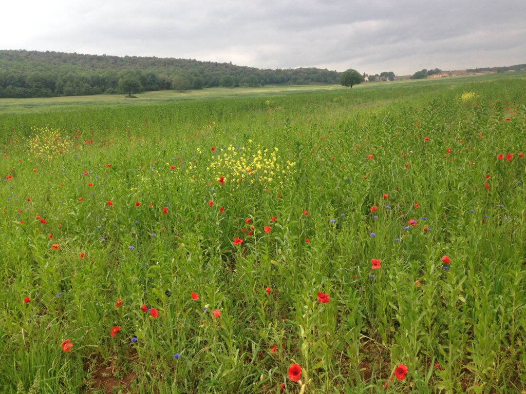 Field with wild flowers